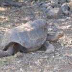 Tartaruga-gigante - exemplo de carapaça em forma de sela