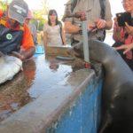 Leão-marinho pidão no mercado de peixes em Puerto Ayora