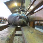 Leão-marinho deitado no banco - poucos minutos antes de cuspir em mim
