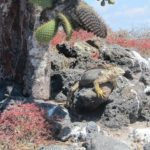 """""""Como seus irmãos marinhos, são animais feios"""", escreveu  Darwin sobre as iguanas terrestres"""