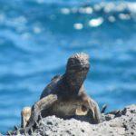 """""""São criaturas horrendas, de uma cor preta suja, estúpidas e lerdas em seus movimentos"""", disse Darwin sobre as iguanas marinhas"""