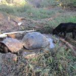 Dois tartarugos-gigantes chafurdando na poça de lama e o cão Rusty na hora mágica do Semilla Verde