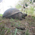 Tartaruga-gigante: exemplo de carapaça em forma de domo