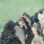 Linha de conga de iguanas marinhas em Plaza Sur